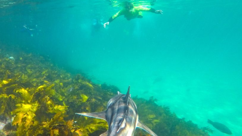 Manly snorkel tour Port Jackson sharks