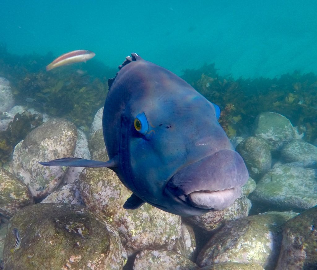 EcoTreasures manly snorkel tour blue groper.