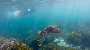 ECOTREASURES Giant Cuttle fish Cabbage Tree Bay Aquatic Reserve Shelly Beach image 3